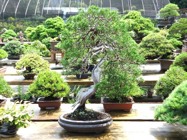 Bonsai e samambaias plantasonya o seu blog sobre for Como cultivar bonsais