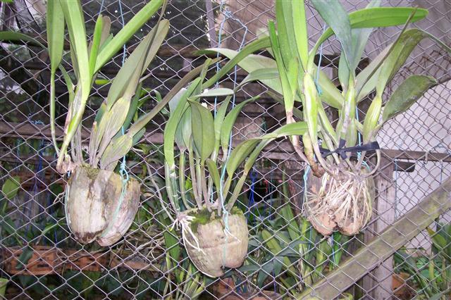 vasos de coco seco