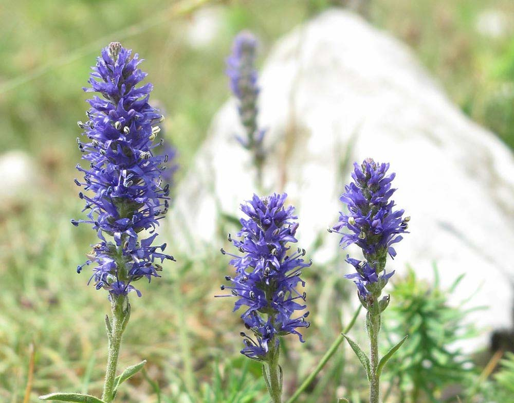 veronicas-flores