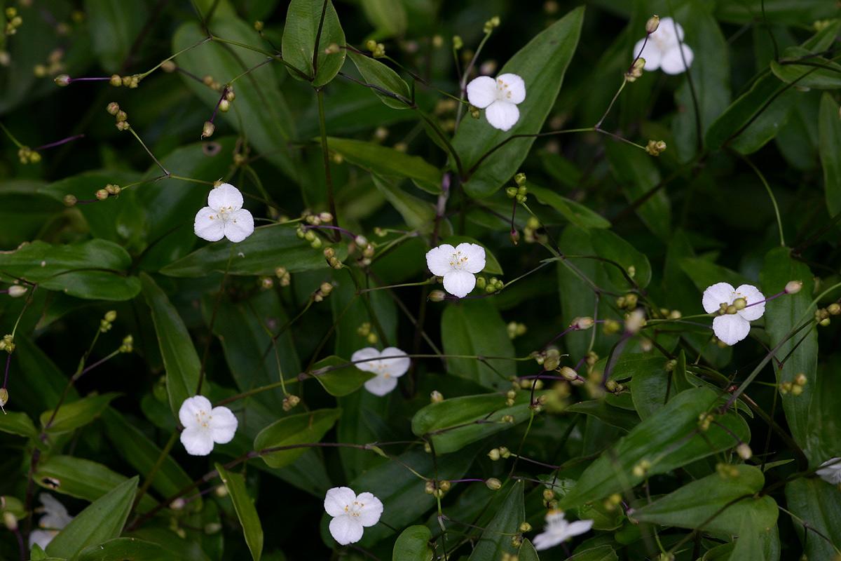 Conhecido Saiba como cultivar o Véu-de-noiva (Gibasis pellucida  SH66