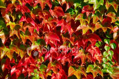 vinha virgem - Parthenocissus quinquefolia