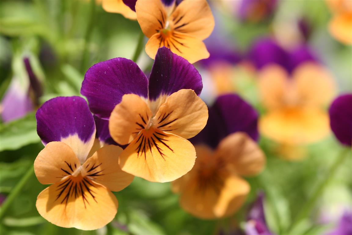 viola odorata laranja_3