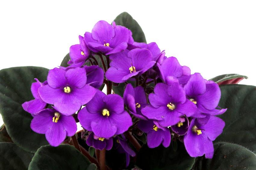 violeta-1