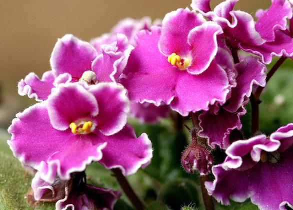 violeta-2