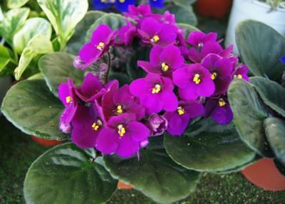 violeta-87