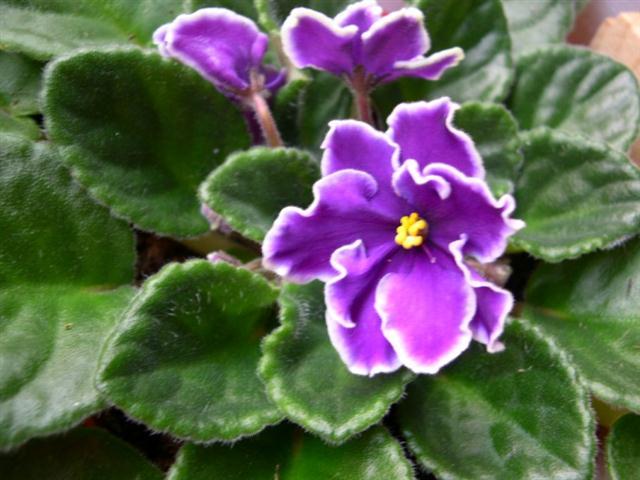 violeta-africana-
