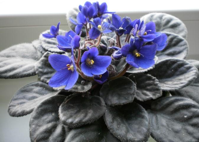 violeta-africana (Saintpaulia ionantha ) )