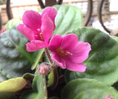 violeta-africana-rosada (2)