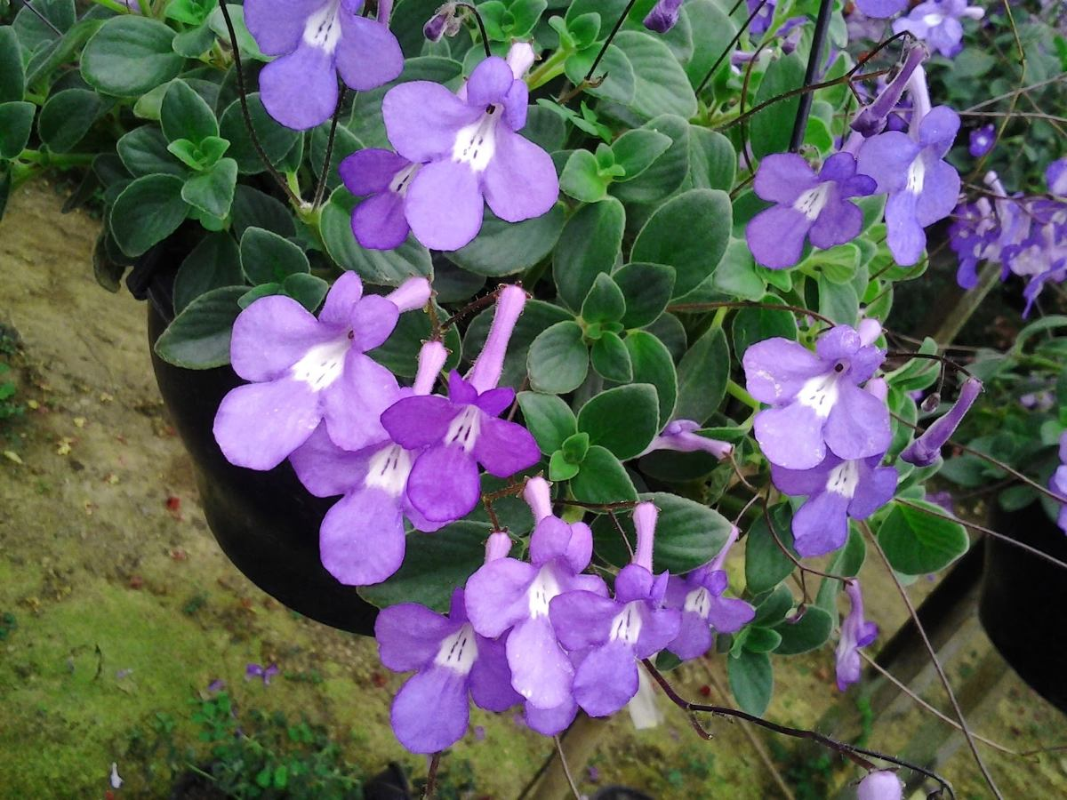 violeta-pendente-15-