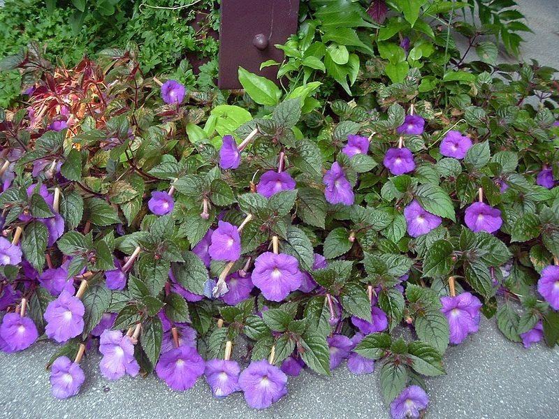 violeta-pendente015-F