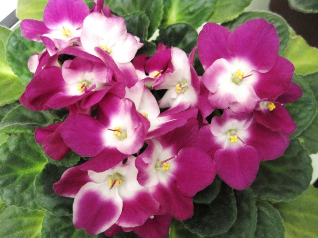 violeta-vermelha-