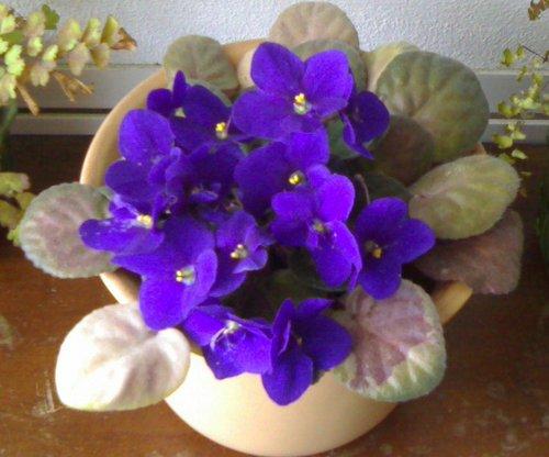 violetas 1