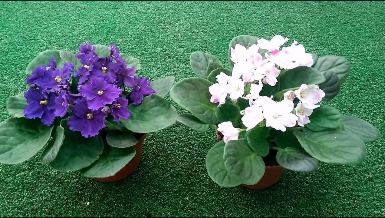 violetas 111
