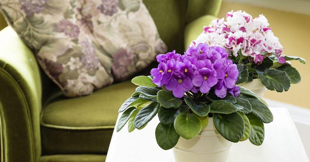violetas-africanas-1