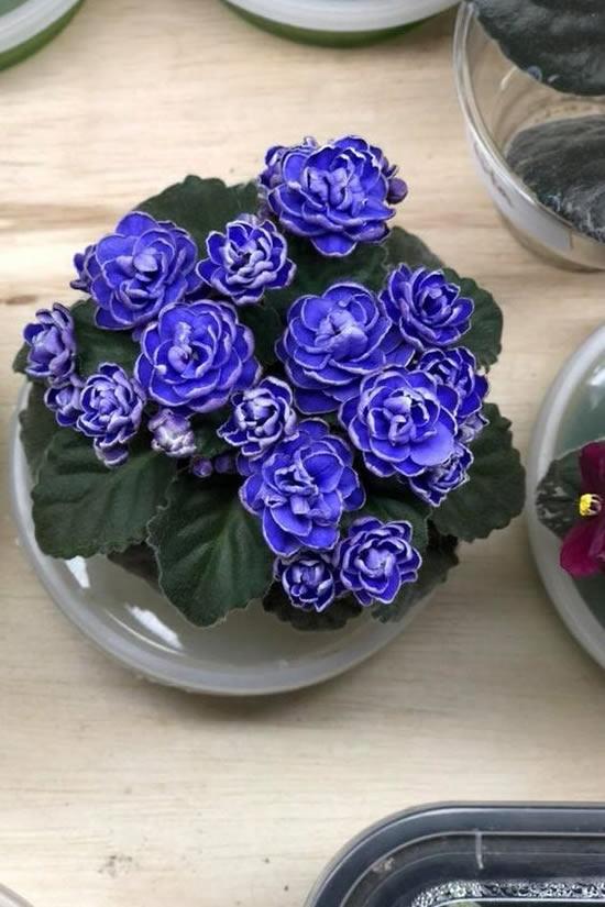 violetas-em-vasos-2