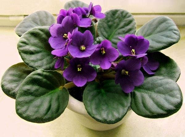 violetas5-min