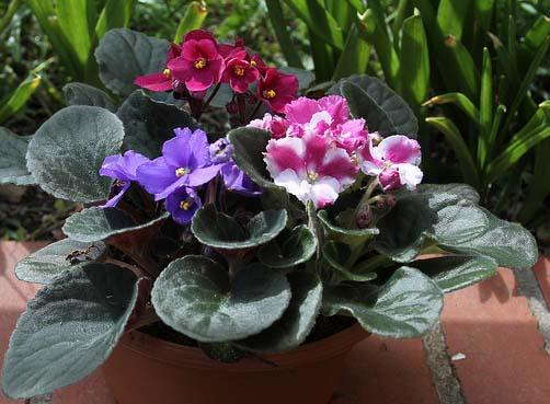 violetas_africanas