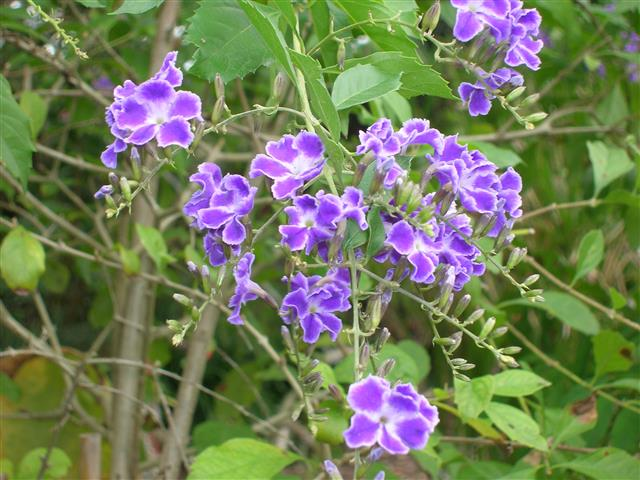 violeteira