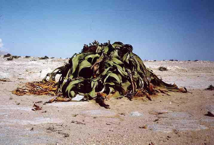welwitschia5