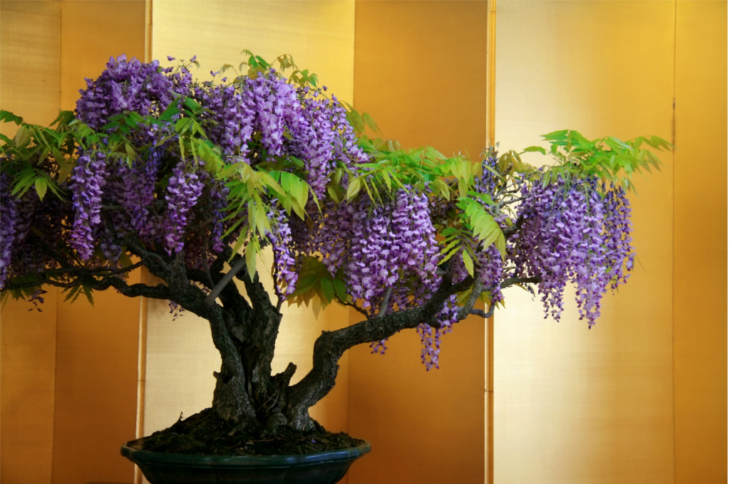 wisteria-chinesa