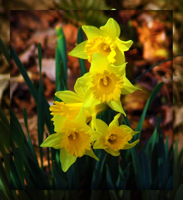 yellow-daffodils-framed1