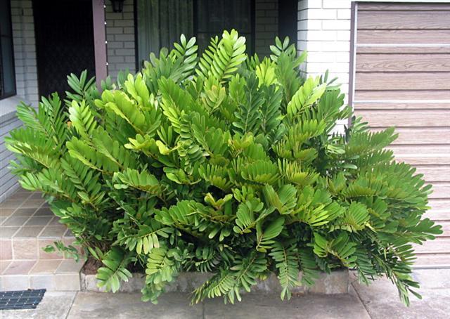 Zamia furfuracea plantasonya o seu blog sobre cultivo for Planta ornamental zamia